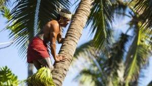 Polynesian Cultural Center - Island Of Samoa Guy Climbing The Tree